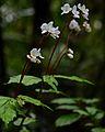 Flickr - ggallice - Begonias.jpg