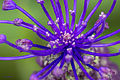 Flor de Cardo.jpg