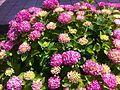 Flora of Esino Lario 12.jpg