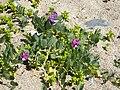 Flora on island Kylmapihlaja 2.jpg
