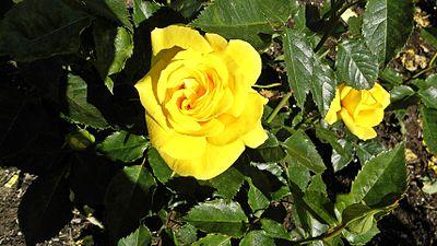 Floribunda - Sunsprite 1 (cr).JPG