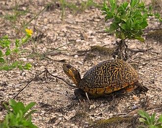 Florida box turtle - Florida box turtle (Terrapene carolina bauri)
