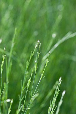 Flower, Petrorhagia saxifraga - Flickr - nekonomania