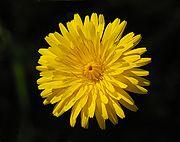 Flower February 2008-2.jpg