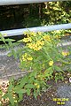 Flowers (31947328042).jpg