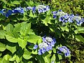 Flowers of Hydrangea macrophylla 20160613.jpg