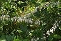 Flowers of Kerala04488.jpg