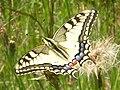 Fluture Randunica.JPG