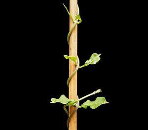 Bine (botany) - Bine (Fockea edulis)