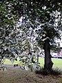 Foliage of unidentified Ulmus cultivar. Duncan Place, Edinburgh.jpg