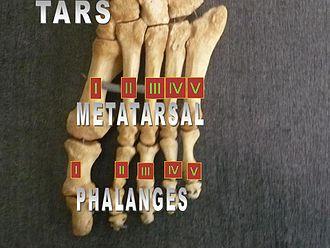 Fifth metatarsal bone - Image: Foot bones metatarsus and phalanges