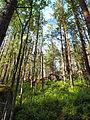 Forest in Muuratsalo.jpg