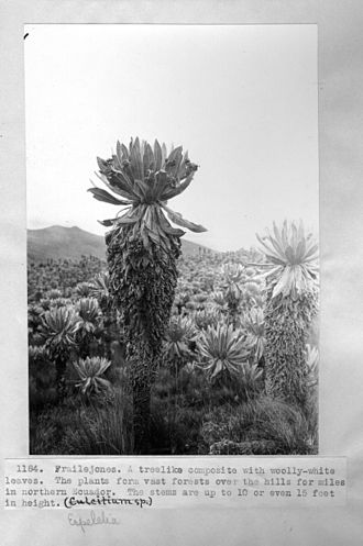 A. S. Hitchcock - A frailejones in Ecuador as photographed by Hitchcock, c. 1923–1924.
