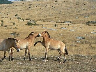 Equus (genus) - Przewalski's horses interacting