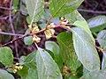 Frangula alnus subsp. baetica FlowersCloseup 2009May10 SierraMadrona.jpg