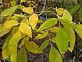 Fraxinus pennsylvanica (5108083418).jpg