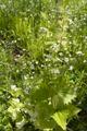 Freiensteinau Salz Bruchwiesen Salz NR 162590 det Alliaria petiolata a.png