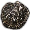 Freshwater-clam hg.jpg