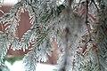 Frosty tree (3741290743).jpg