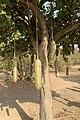 Fruits and flower of the sausage tree (Kigelia africana), Ghana.jpg