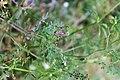 Fumaria officinalis-Fumeterre officinale-Feuilles-20150415.jpg