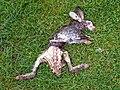 GOC Radwell-Rivers and Meadows 002 Dead bunny (9815266313).jpg