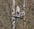 Gadwall flying past (6881120209).jpg