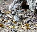 Galapagos Mockingbird (47938762796).jpg