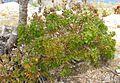 Galium buxifolium.jpg