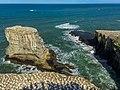Gannet colony - Mirawai - New ZealandIMG 5628 (26564445498).jpg