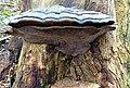 Ganoderma australe, Southern Bracket. Lambroughton, North Ayrshire. Dead elm trunk.jpg