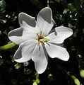 Gardenia thunbergia.JPG