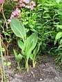 Gartenpflanze Canna.JPG