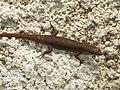 Gecko (88849756).jpg