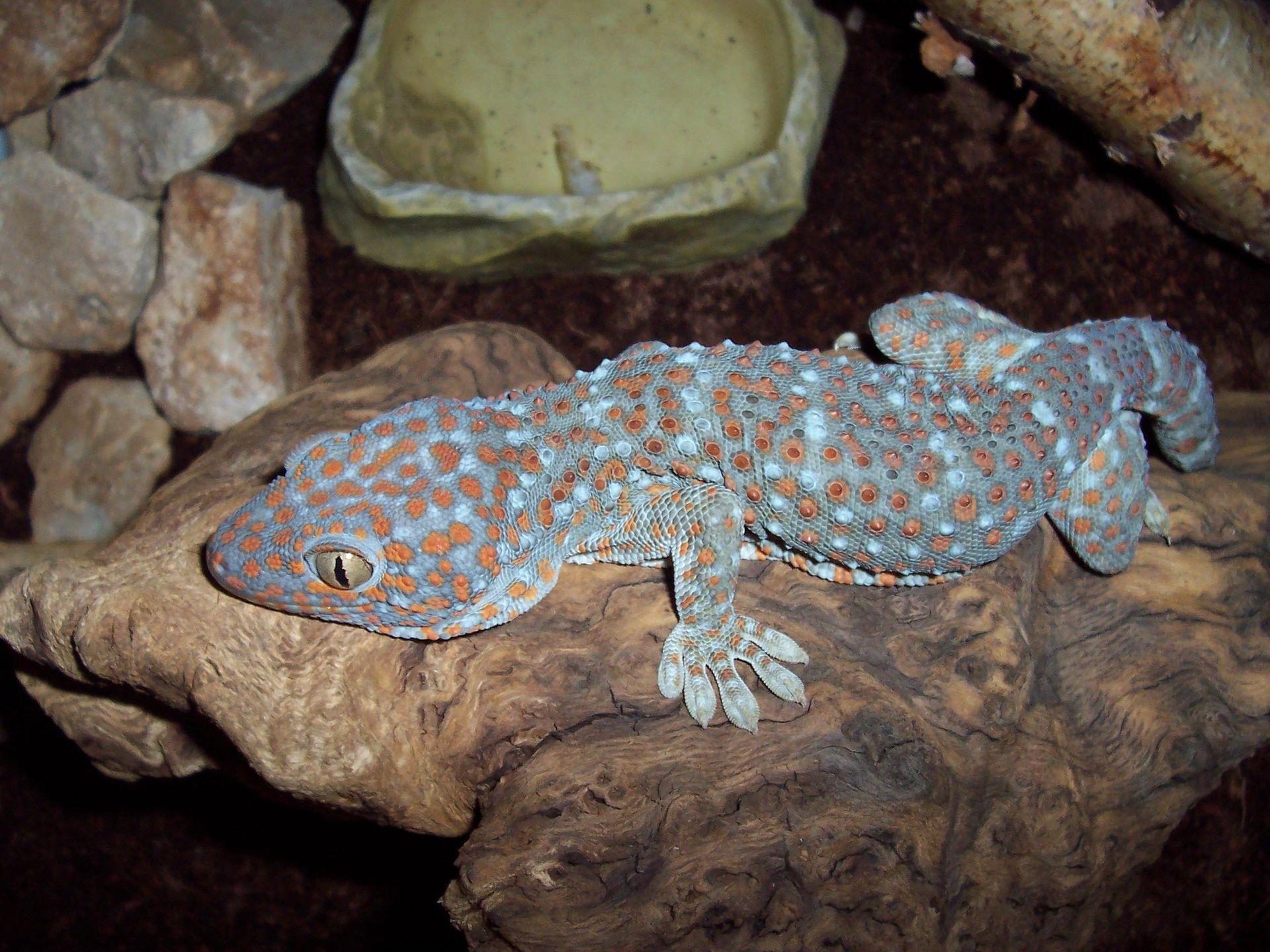 Do Leopard Geckos Drink Tap Water