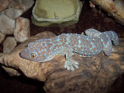Gekko gecko (rock) by Robert Michniewicz.jpg