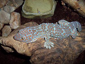 suche eidechsen oder gecko in