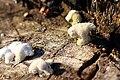 Gemeiner Spaltblättling Schizophyllum commune 6333.jpg