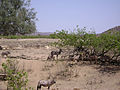 Gemsbok (Oryx gazella) (8603187527).jpg