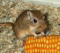 http://upload.wikimedia.org/wikipedia/commons/thumb/5/52/Gerbil.jpg/200px-Gerbil.jpg