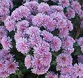 Gfp-purple-flowers-in-bloom.jpg