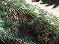 Ghi, pettingzoo (tail of escaped peacock - not school pecock!).jpg