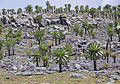Giant Lobelia, Sanetti Plateau (11402183424).jpg