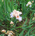 Giardino dell'iris, firenze, 2014, celebration song, 1° premio 1996, 02.JPG