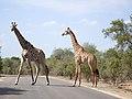 Giraffe (24045777422).jpg