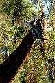 Giraffe boo-ing (14905499933).jpg