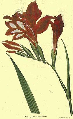 definition of gladiolus