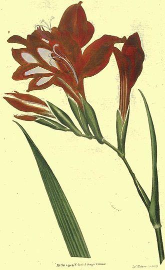 Gladiolus - Image: Gladiolus carcinalis