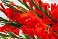 Gladiolus in red.jpg
