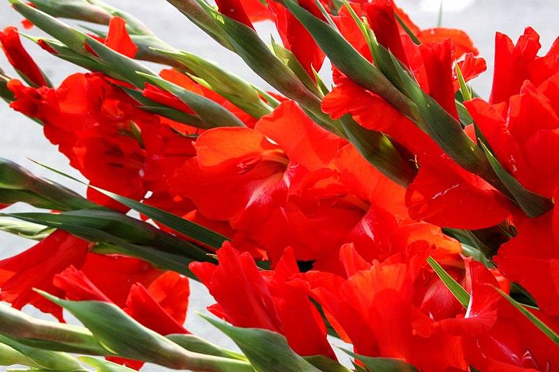 File:Gladiolus in red.jpg